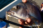 Specialist Bream 011