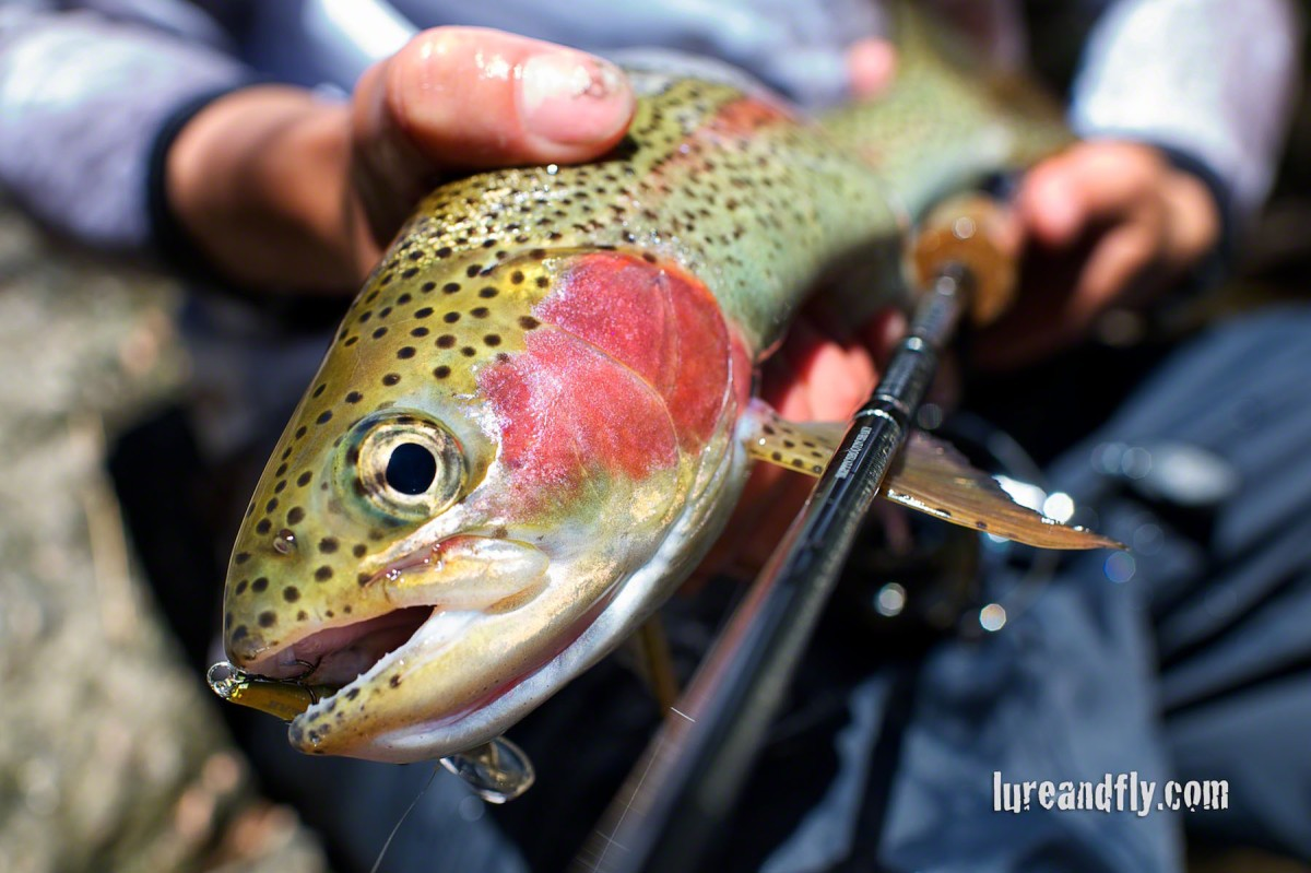 Cox's River Trout 020