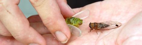cicada feature