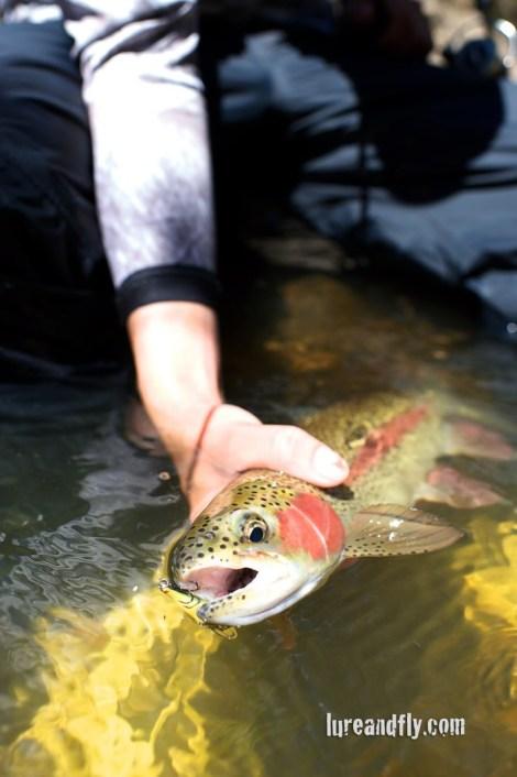 coxs-river-trout-008