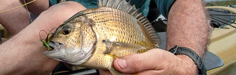 bream on fly feature