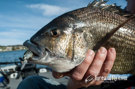 Trophy Bream 011