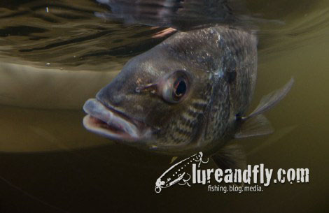 trophy-bream-feature 2