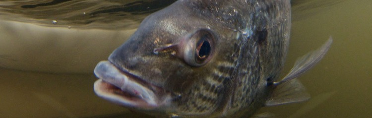 Trophy Bream feature