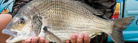 big bream feature