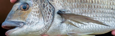 BREAM GF FEATURE