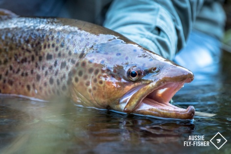 Photo courtesy of Joshua Hutchins of Aussie Fly Fisher
